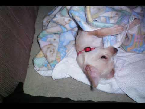 Cute Chihuahua /Jack Russel mix puppy