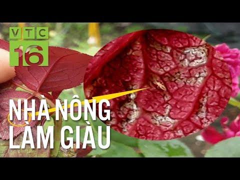 Bọ trĩ gây hại hoa hồng: Cách nhận biết sớm I VTC16 - Thời lượng: 9 phút, 15 giây.