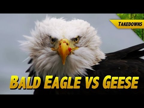 Bald Eagle vs Geese: Someone Gets Their Head Cut Off
