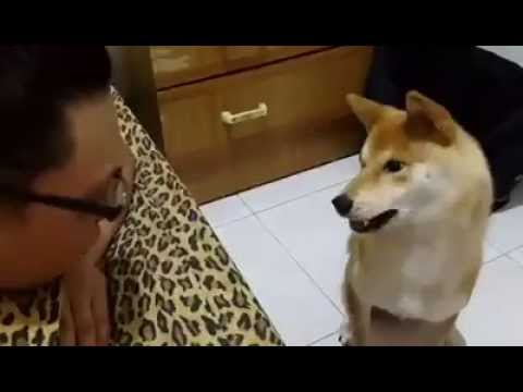 柴犬跟主人吵架,不滿被頂嘴爆氣動手要打人