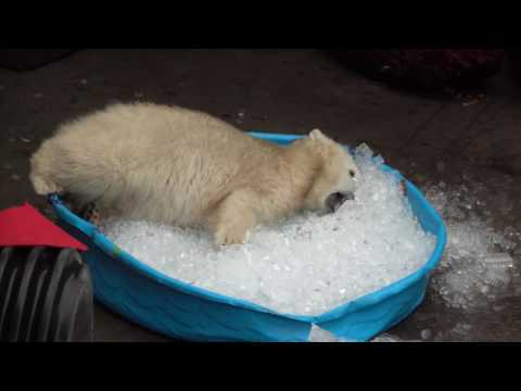 Young Polar Bear Plays in IceFilled Kiddie Pool