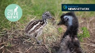 Hungry hedgehoglets, clumsy cubs & meet Elsa the emu!