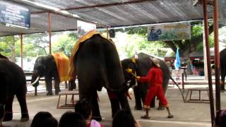 Funny Video Of Elephant Dancing From Ayutthya thailand
