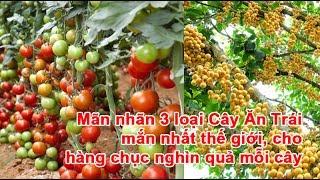 Mãn nhãn 3 loại Cây Ăn Trái mắn nhất thế giới, cho hàng chục nghìn quả mỗi câyCây Ăn Trái, cây ăn quả, cây ăn trái cho nhiều quả, cây ăn quả cho nhiều tráiTheo khampha.vn