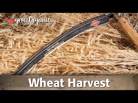Wheat Harvest by Hand