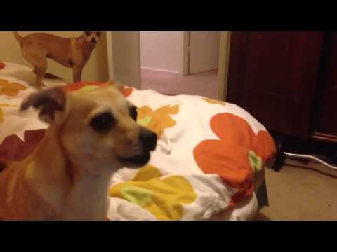 Chihuahua barking at video of herself