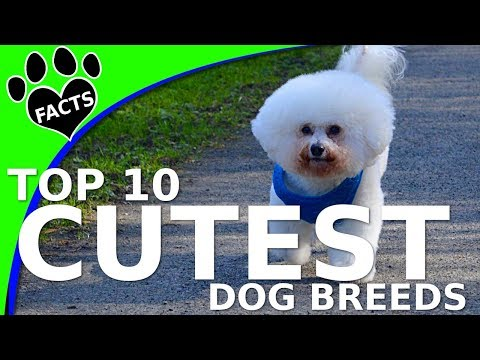 Top 10 Cutest Small Dog Breeds Dogs 101 (w/ Ozzie Bichon Frise) (видео)