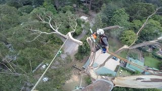 Do takiej roboty to trzeba mieć jaja ze stali! Ścinanie 40-metrowego drzewa na wysokości!