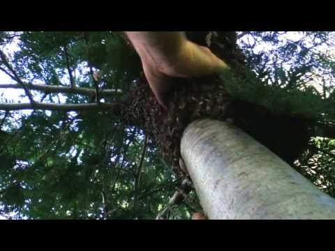 Incredibly Gigantic Swarm of Honey Bees and Me Who Climbed up a Cedar Tree to Capture Them!!