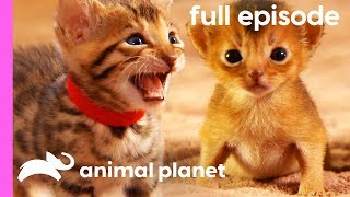 Persian, Bengal, and Abyssinian Kittens | Too Cute! (Full Episode) by Animal Planet