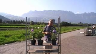 #110 Die Geschichte des Hibiskus-Züchters Dr. Roderick Woods