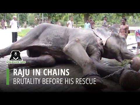 Slon koji je 50 godina bio zlostavljan u zatočeništvu proplakao u trenutku oslobađanja (video)