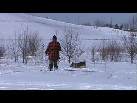 AKC Tracking:  Gimli the Norwegian Elkhound masters a snowy track