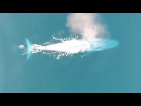 Rare Footage Of 200Ton Blue Whales Feeding On