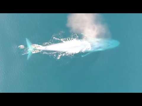 Rare Footage Of 200Ton Blue Whales Feeding On