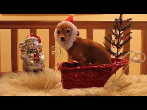"Santa Paws ""Billy"" the Christmas Chihuahua"