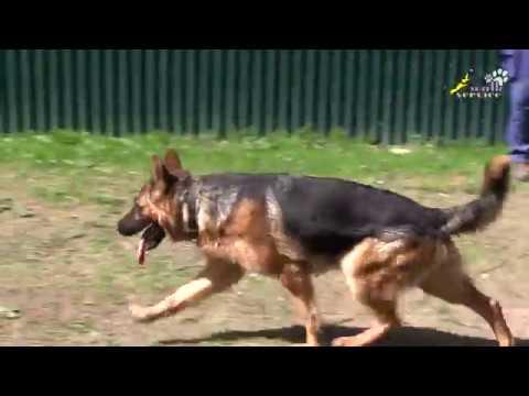Немецкая овчарка - дрессировка возбудимой собаки