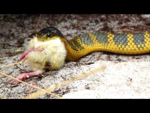 Amy Wild Adventures: Tiger Snake Feeding (видео)