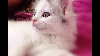 5月12日生まれ 女の子 純血のメインクーンですcattery yakumoやくもnyanhttp://yakumonyan.com/島根県松江市で猫カフェとメインクーンのキャッテリーをしていますご紹介の子猫達 販売中です
