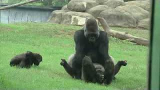 Download Video Gorillas in love at Atlanta Zoo MP3 3GP MP4