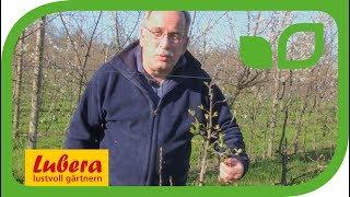 Unterschied zwischen Blatt-  und Blütenknospen beim Apfelbaum