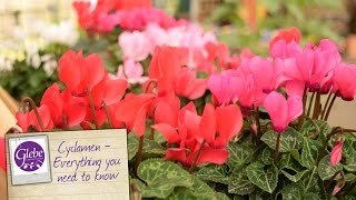In this video Mike tells you everything you need to know about Cyclamen plants.Visit http://www.glebegardencentre.co.ukLike us on Facebook - http://www.facebook.com/glebegcFollow us on Twitter - http://www.twitter.com/glebegc