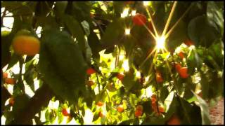 Nonton Mandarine Orange Tree With Morning Sunshine   Singing Birds     Film Subtitle Indonesia Streaming Movie Download