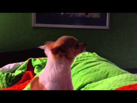 How to make your Chihuahua Howl