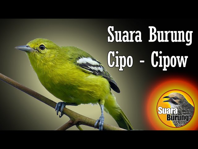 suara burung cipo cipow memancing burung cipo