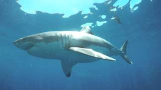 Port Lincoln Australia  City new picture : Shark cage diving with Calypso Star Charters Port Lincoln South Australia