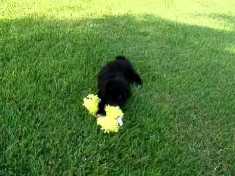 Benjamin...Adorable Shih Poo!!!