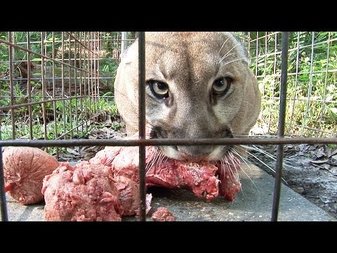how to - With 65 acres and almost 100 exotic cats, feeding time at Big Cat Rescue is a full scale operation! Take a look at how we do it.... BIG CAT TV is a close look into our day-to-day operations,...