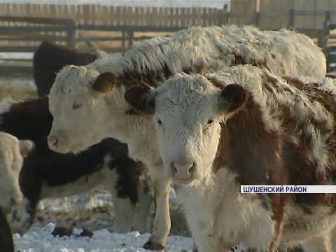 ВКрасноярском крае набазе разрушенной фермы появилось новое животноводческое предприятие