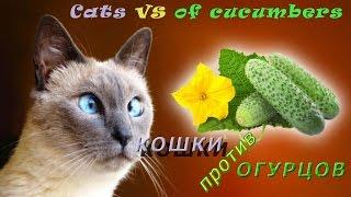 Кошки vs огурцы