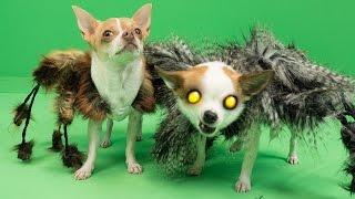 Halloween: des passants effrayés par un chien déguisé en araignée géante