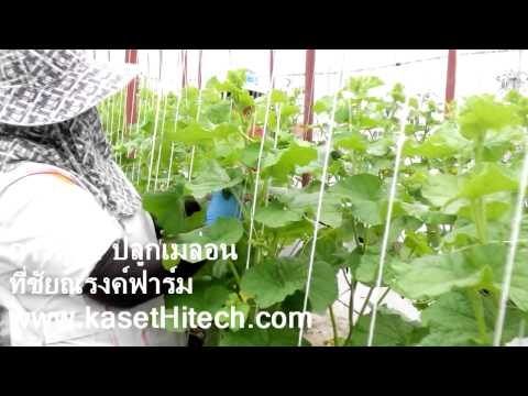 การปลูกเมล่อน - www.kasethitech.com แสดงการดูแลเมล่อน และแตงกวาญี่ปุ่น ในขั้นตอนของการพันยอด ที่ ชัยณรงค์ฟาร์ม...