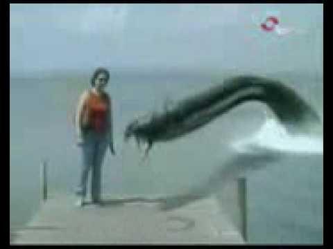 Jättiankerias iskee laiturille