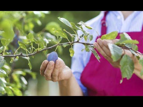 Trasplantar un ciruelo en el huerto - Jardinería
