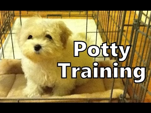 How To Potty Train A Maltese Puppy – Maltese Potty Training Tips – House Training Maltese Puppies