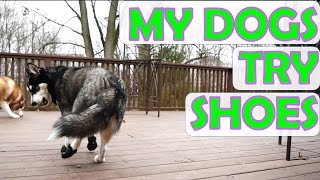 My Siberian Huskies try on shoes!