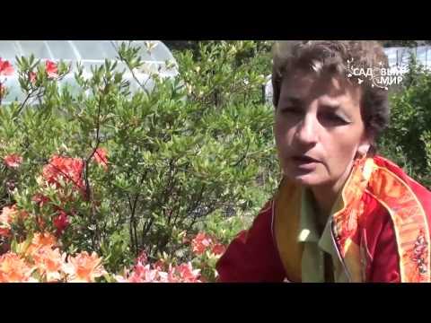 Рододендроны  Как добиться пышного  цветения. Сайт