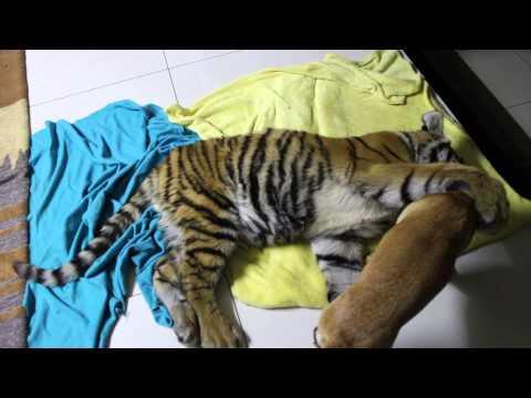 Koira ja tiikeri – Parhaat kaverukset
