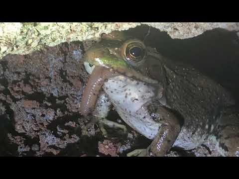 Bullfrog eats earthworm
