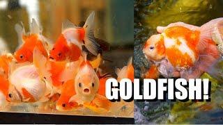Video EXTREME GOLDFISH PASSION: Breeding New Types in Hawaii? MP3, 3GP, MP4, WEBM, AVI, FLV Februari 2019