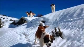 Elevage de chiens Saint Bernard