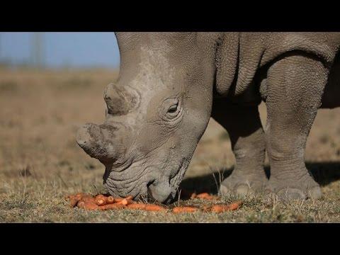 Rhino-Leihmütter sollen Nashorn vorm Aussterben retten