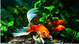 Top 5 Aquarium Plants for Goldfish by Aquarium Co-Op