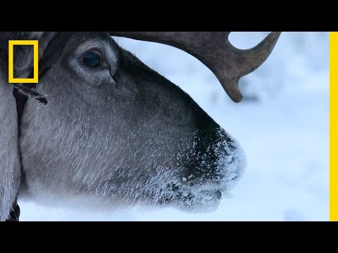 Hitch a Ride with Reindeer Herders 13 December 2013 02 AM