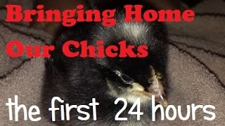 We are first time chicken owners! We planned for 6-8 chicks at the beginning of May but the hatch failed and so we ended up with none. We decided to order 25 chicks from a hatchery and chose the Barred Plymouth Rock because they are a dual purposed bird. We also chose to get the unsexed bunch because they were cheaper, we could keep the hens for eggs and the roos for dinner! In our first 24 hours we played with fermented feed, sexed the chicks, dealt with pasty butt, put them in a little bigger brooder and fell in love! Follow our journey with chickens!