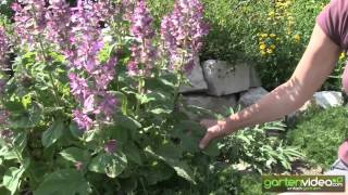#1250 Muskatellersalbei - Salvia sclarea